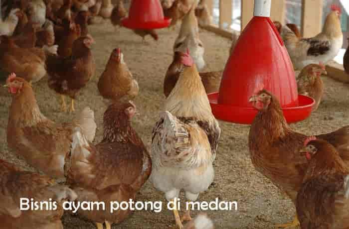 bisnis jual ayam potong medan